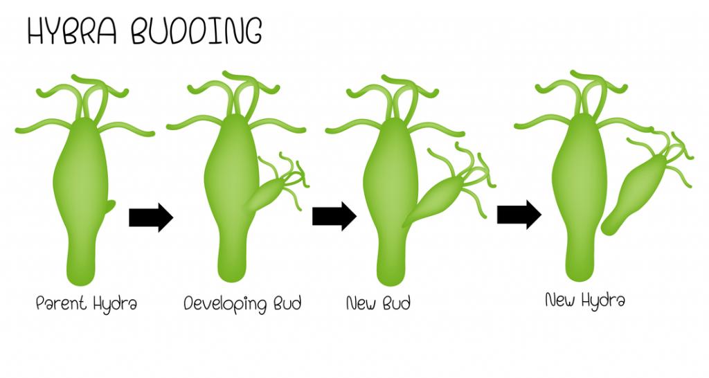 Wat is een hermafrodiet wietplant