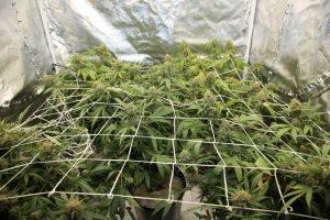 Wietplanten huurwoning en koopwoning